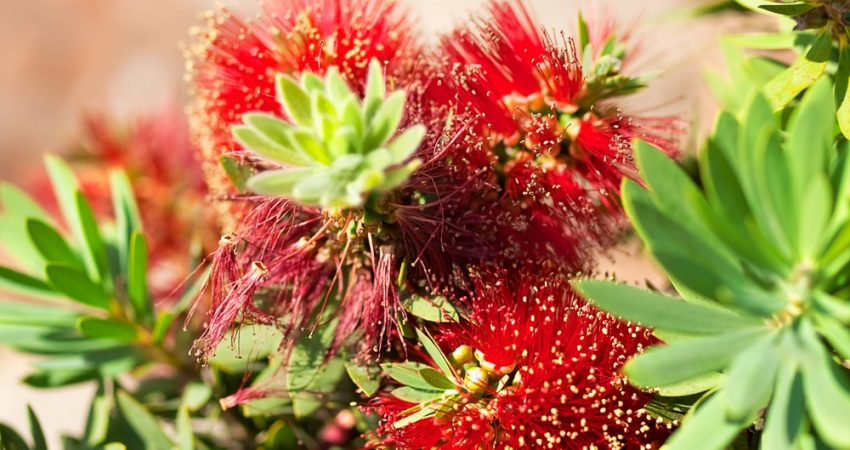 Australian Native Plant red bottlebrush