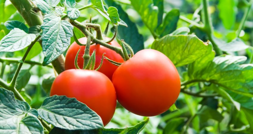 8 Tips On How To Grow Great Tomatoes Blog Charlie Carp