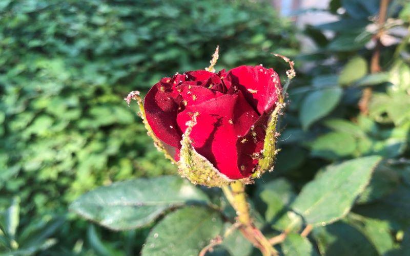 Garden Pest # 2 Aphids