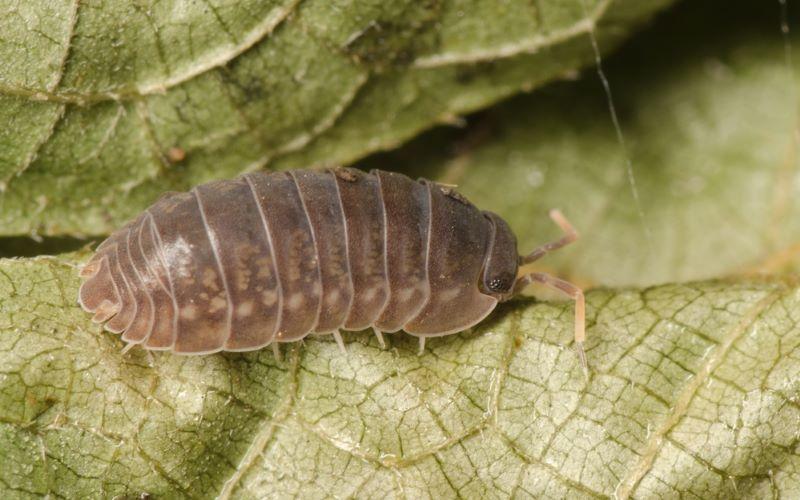 Garden Pest #4 Slater