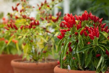 Growing Chillies in Pots